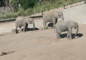 Слоны в зоопарке Сан-Диего в Калифорнии