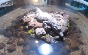 """Крокодил Матильда в океанариуме """"Акулий риф"""" в Сочи"""