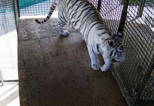 """Белый тигр в зоопарке санатория """"Октябрьский"""" в Сочи"""