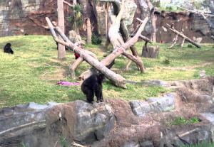 Шимпанзе в зоопарке Хьюстона в Техасе