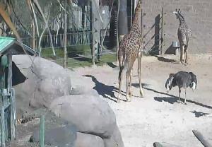 Жирафы и страусы в зоопарке Хьюстона в штате Техас