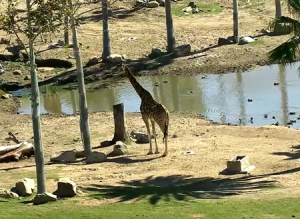 Жирафы в зоопарке Сан-Диего в Калифорнии