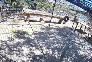 Африканский лев в Барнаульском зоопарке