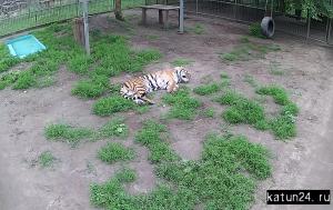 Амурский тигр в Барнаульском зоопарке