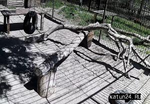 Дальневосточный леопард в зоопарке Барнаула
