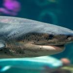 Акулы в Океанариуме Монтерей Бэй в Калифорнии