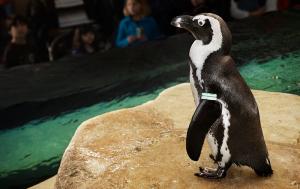 Пингвины в Калифорнийской академии наук в Сан-Франциско
