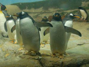 Веб камера Гавайские острова, остров Оаху, Зоопарк Гонолулу, пингвины