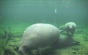 Подводный мир реки Сент-Джонс в парке Блу Спринг во Флориде