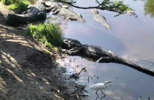 Ферма аллигаторов Сент-Огастин во Флориде