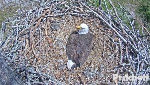 Гнездо белоголовых орланов в юго-западной части Флориды