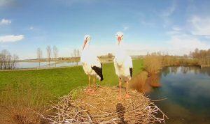 Гнездо аистов в городке Вамель в Нидерландах