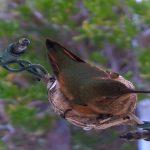 Гнездо колибри в штате Калифорния