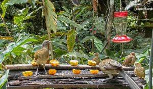 Кормушка птиц в Панаме